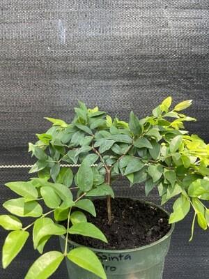 Jaboticaba Tree - San Pedro (Plinia sp.)
