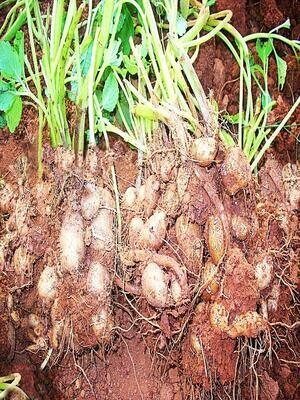 African Potato Mint (Plectranthus rotundifolius)