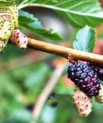 Mulberry - Hunter (Morus alba)