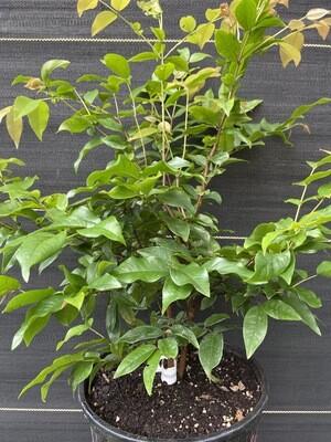 Jaboticaba Tree - Red (Plinia cauliflora) 2G