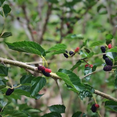 Mulberry - Everbearing (Morus alba)