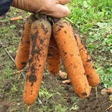 Морковь Гретта F1
