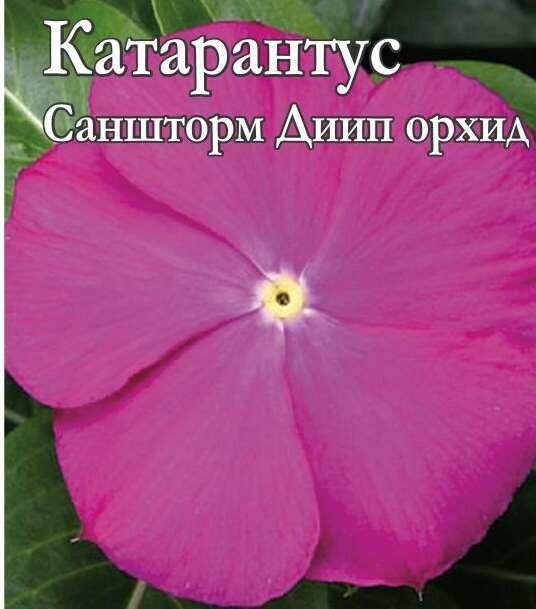 Катарантус Саншторм Диип орхид