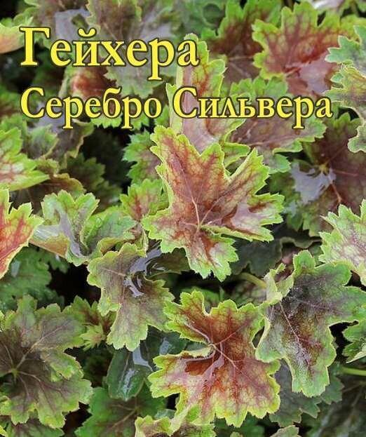 Гейхера Серебро Сильвестра