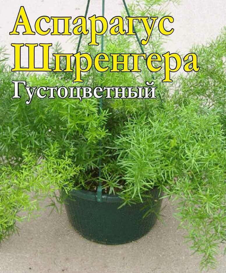 Аспарагус Шпренгера густоцветный