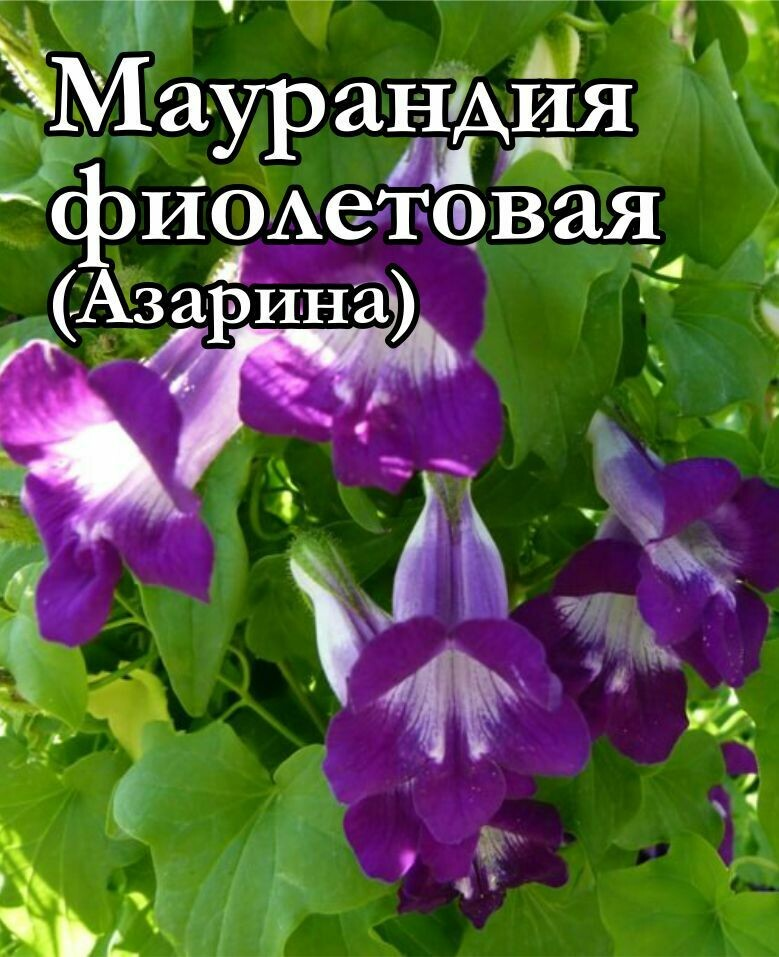 Маурандия фиолетовая ( Азарина)