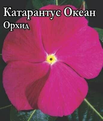 Катарантус Океан Орхид