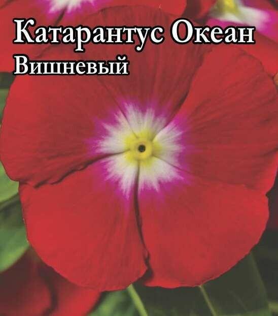 Катарантус Океан Вишневый