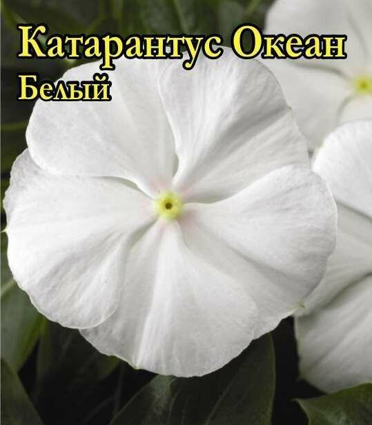 Катарантус Океан Белый