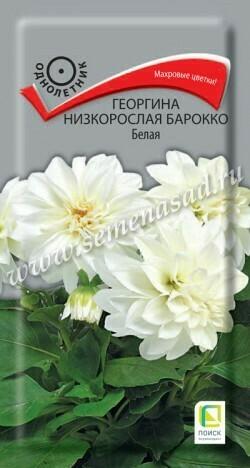 Георгина низкорослая Барокко белая
