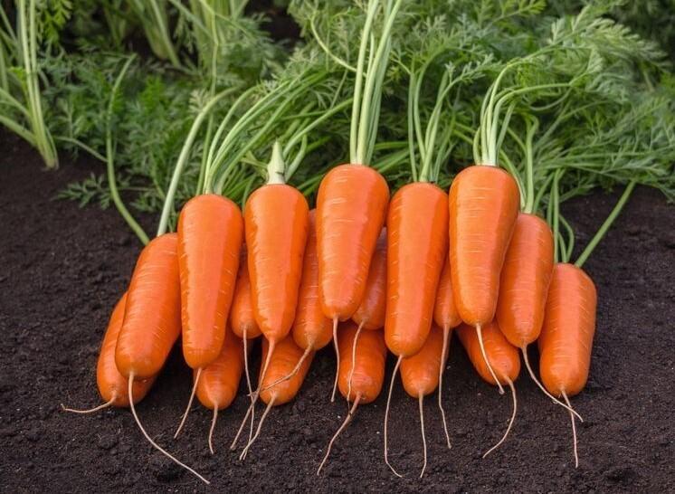 Морковь Королевский размер F1