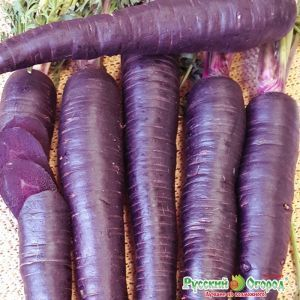 Морковь Пурпур F1