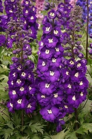 Дельфиниум Purple Passion