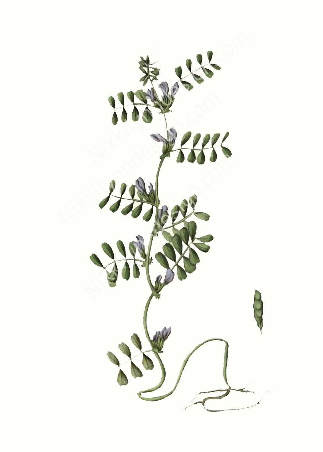 Common Vetch Digital Download Prints Up To 8x10