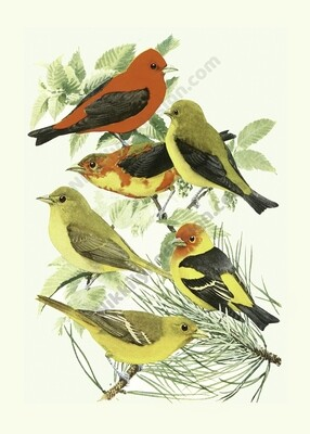 Tanager Digital Download Prints Up To 8x10