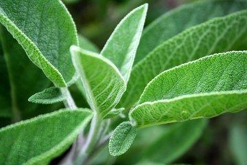 Salie  Echte 11 ml Bio (Salvia Officinalis)