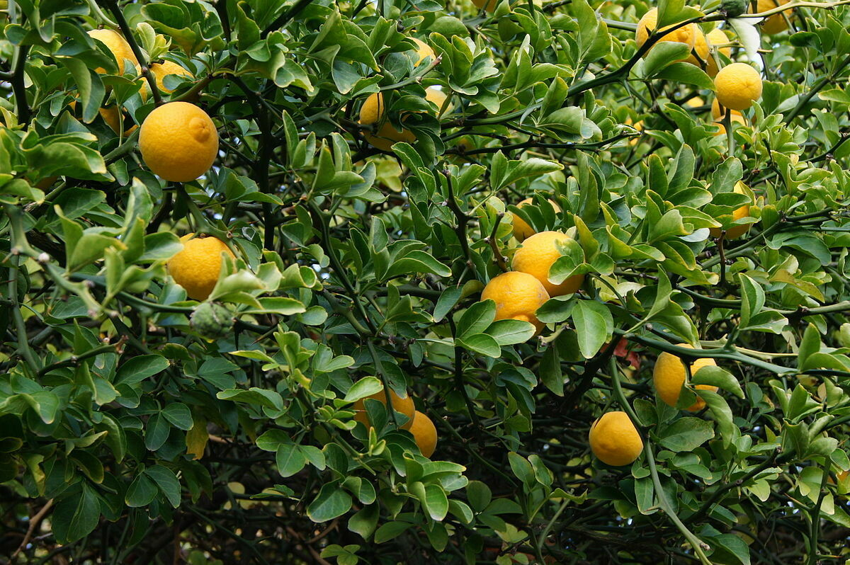 Trifoliate Orange Hardy Citrus Tree