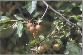 Southern Crabapple (Malus augustifolia)