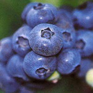 Powder Blue Blueberry