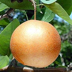 Chojuro Asian Pear