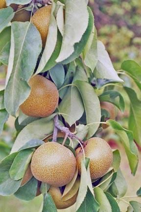 Shinko Asian Pear