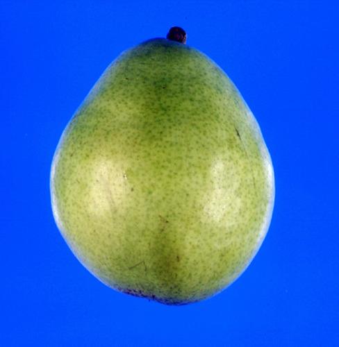 LeConte Pear