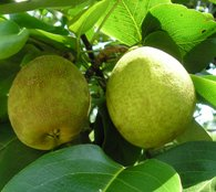 Pineapple Pear