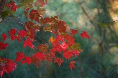 Native red maple trees