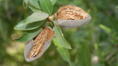 Nonpariel Almond
