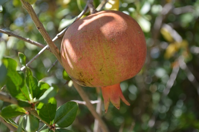 Dwarf Pomegranate (Nana)