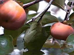 Eureka Japanese Persimmon Tree