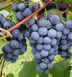 Concord Grapevines