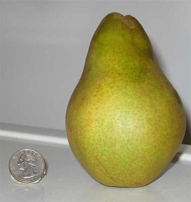 Warren Pear