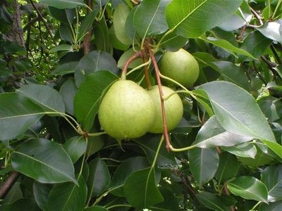 FRUITING AGE - Orient Pear