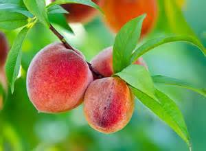 Majestic Peach