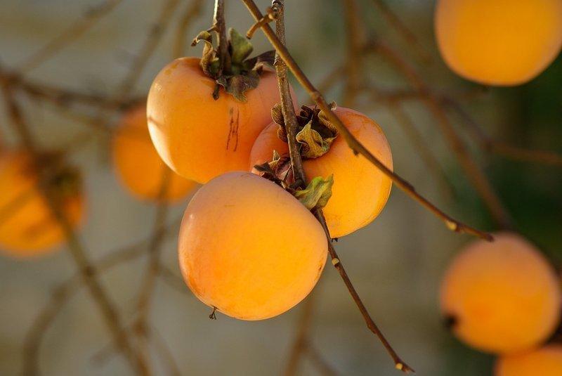 Hachiya Japanese Persimmon