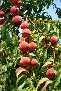 Sam Houston Peach