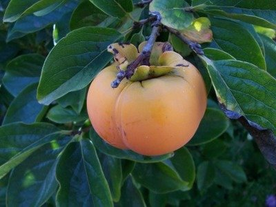 Fuyu Japanese Persimmon