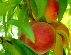 Red Globe Peach