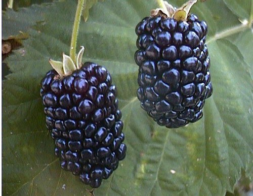 Natchez Blackberry