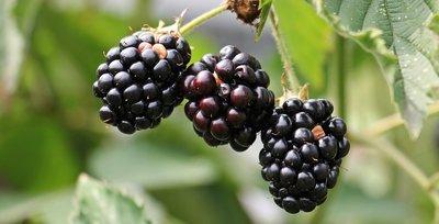 Prime Ark Freedom Thornless Blackberry