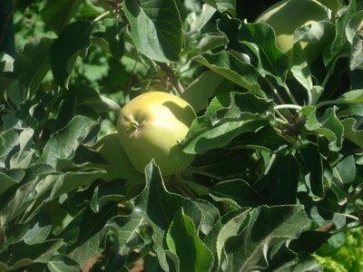 Dorsett Golden Apple