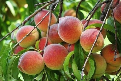 Red Baron Peach
