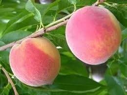 Sentinel Peach