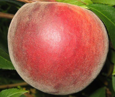 Red Skin peach trees - 1