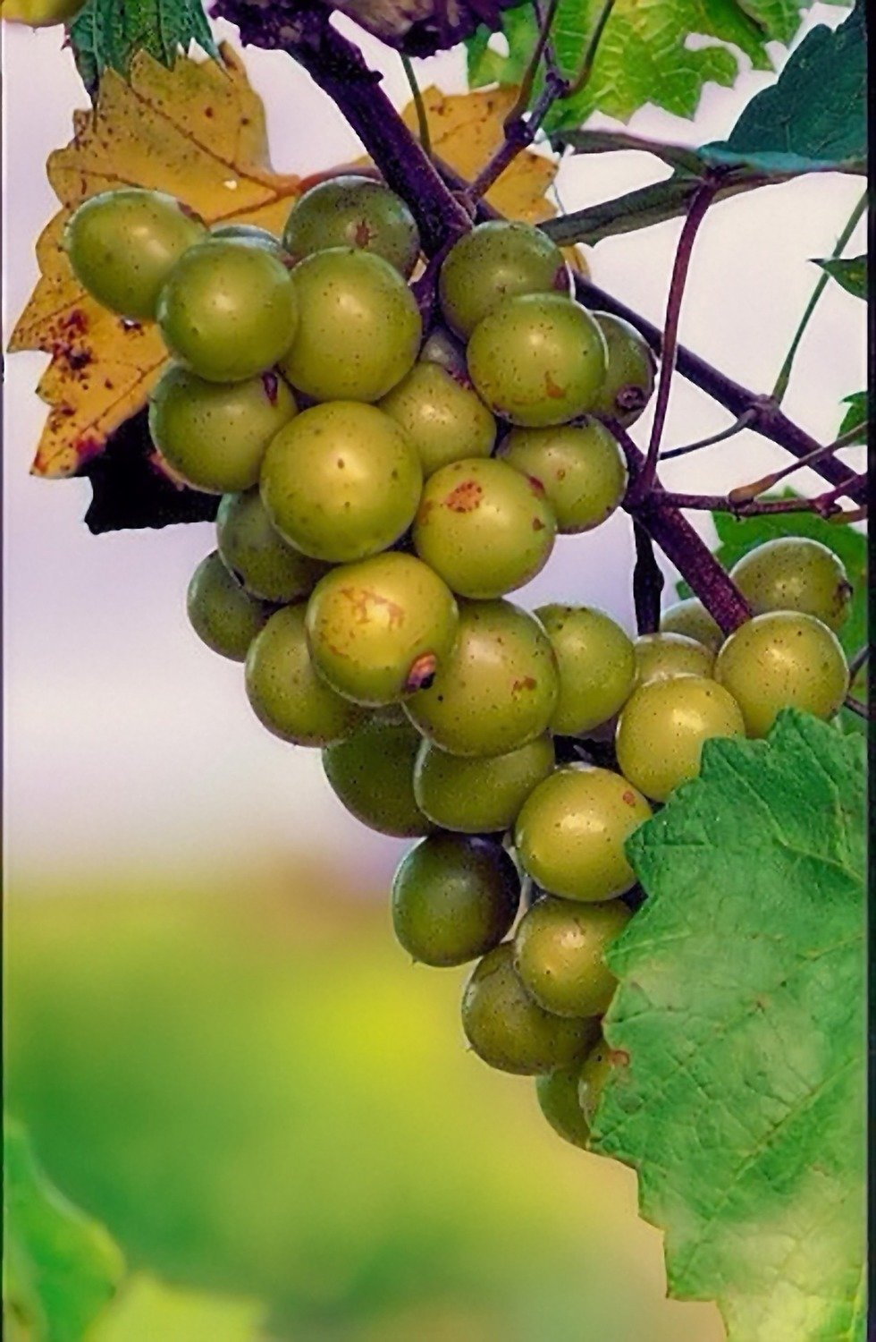 Scuppernong grapevines