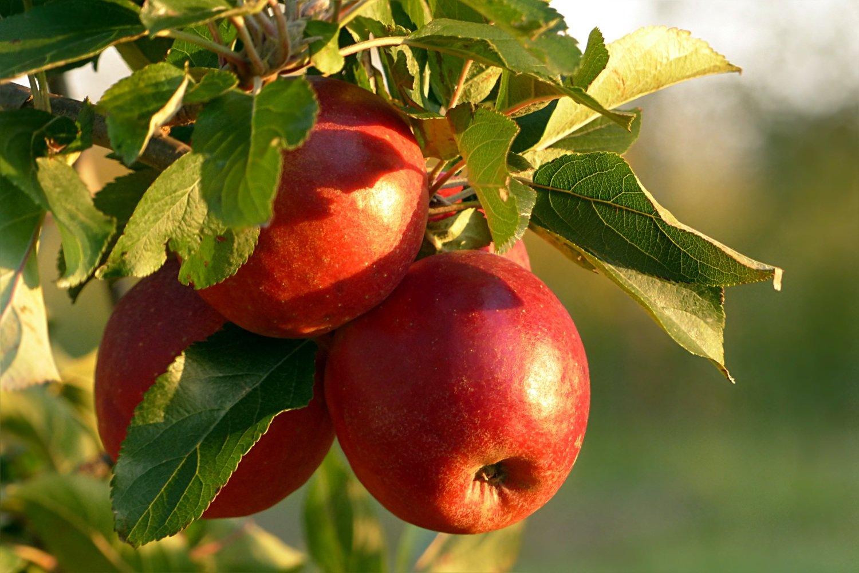 Carolina Red June Heirloom Apple