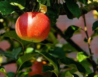 Cinnamon Spice Dwarf Apple