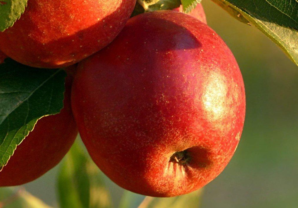 Enterprise Dwarf Apple