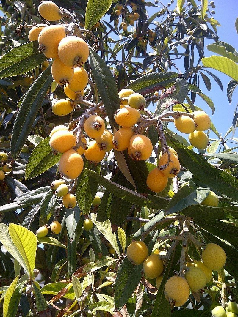 Loquat Tree - 2-3'